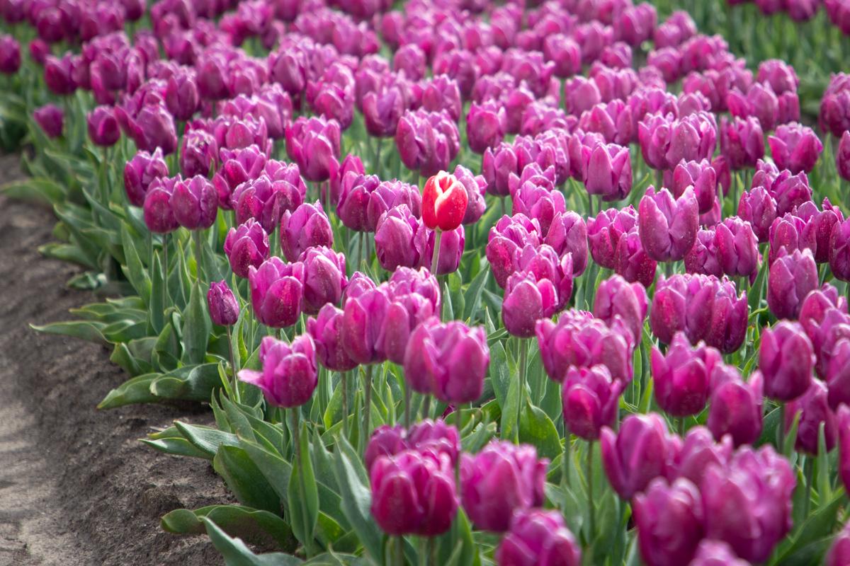 Filerijden voor zelf geplukt bosje tulpen