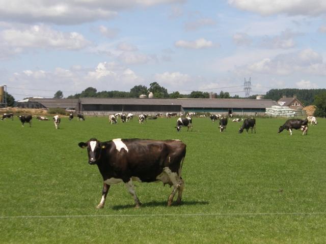 Robot gaat koeien melken in de wei